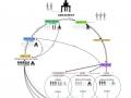 wilson_diagram